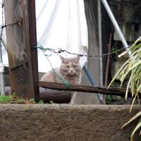 On the prowl: Back in the 'dark days' of the Showa Era there were a lot more noraneko (street cats), in Tokyo's back alleys — dead or alive. | ASHINARI