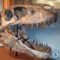 Big bite: This Tyrannosaurus bataar skull from Mongolia was seized by federal officials after fossils from China were illicitly smuggled into the United States. | ICE/AP