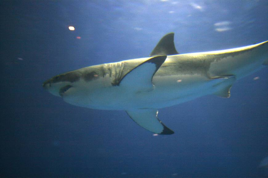 Great white sharks' life span tripled to over 70