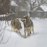Wolf numbers surge across Europe