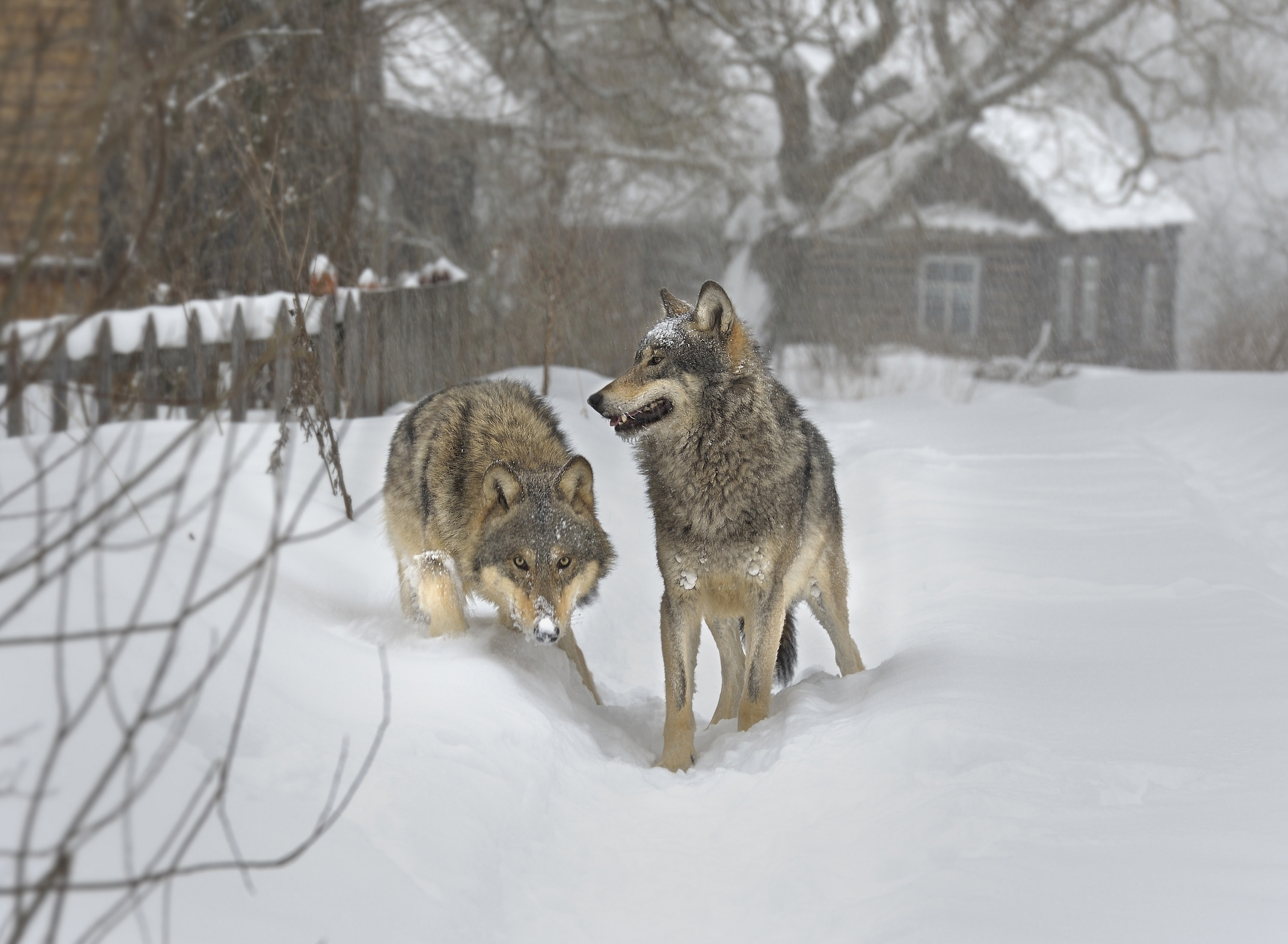 Howling back: With recent economic and political crises roiling the continent, Europe has seen a surge in the once-decimated population of wolves. | BLOOMBERG