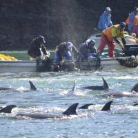 Dying tradition: Fishermen catch bottlenose dolphins during the selection process in Taiji, Wakayama Prefecture, on Sunday. | SEA SHEPHERD CONSERVATION SOCIETY/AP