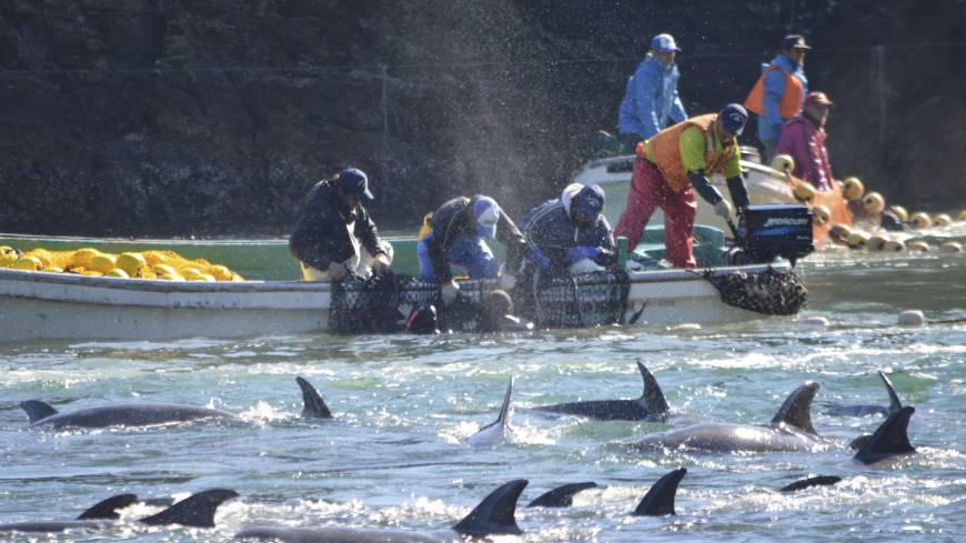 Dying tradition: Fishermen catch bottlenose dolphins during the selection process in Taiji, Wakayama Prefecture, on Sunday.