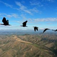 Accomplished aeronautics: Northern bald ibises (Geronticus eremita) fly in formation. A new study released Wednesday, Jan. 15, 2014 says the birds choreograph the flapping of their wings, getting a boost from an updraft of air in the wake of the first bird. When a flock of birds take advantage of these aerodynamics, they form a V. | AP