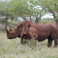 Fair game?: A male black rhino and a calf are seen in Mkuze, South Africa, in this photo released by the U.S. Fish and Wildlife Service. A permit to hunt one of the endangered animals sold for $350,000 at a Dallas auction Saturday night.   AP