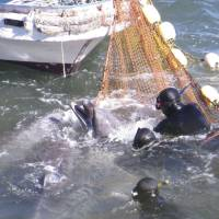 Unnatural selection: A photo provided by the Sea Shepherd Conservation Society shows divers trying to catch a bottlenose dolphin in the cove in Taiji, Wakayama Prefecture, on Jan. 18 for possible sale to an aquarium. Of the estimated 300-plus dolphins in the cove, 52 were sold. The rest were killed. | AP