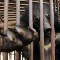 Trapped: A bear looks out from a cage at a bear farm in Dangjin, South Korea, on Jan. 24. | AP
