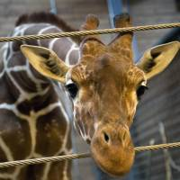 Euthanized: The giraffe Marius is shown at the Copenhagen Zoo on Friday, two days before he was killed. | AFP-JIJI