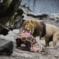 Giraffe is served: Lions in Copenhagen Zoo eat the remains of Marius the giraffe, which was shot Sunday. | AFP-JIJI
