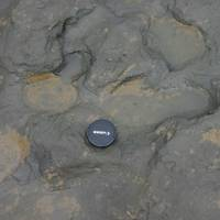 Sole survivors: Some of the ancient human footprints found in silt on the beach at Happisburgh on the Norfolk coast of England are shown in this photo issued by the British Museum, with a camera lens cap laid beside them to indicate scale.   AP