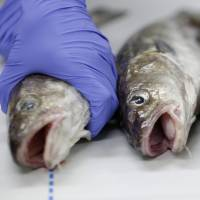 Troubled waters?: A worker holds a fish during an analysis of radioactive materials in the specimen at the Marine Ecology Research Institute's central laboratory in Onjuku, Chiba Prefecture, in December. Leaks of contaminated water into the Pacific Ocean from Tokyo Electric Power Co.'s Fukushima No. 1 nuclear plant, damaged in the March 2011 earthquake and tsunami, have raised questions about the safety of eating seafood caught off Japan. | BLOOMBERG