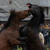 Dark horses: Two stallions fight during a traditional Chinese New Year competition for the Year of the Horse at the village of Tiantou in China on Sunday. | AFP-JIJI