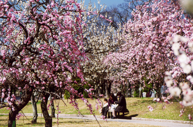 Japan's plum blossoms are already in the pink