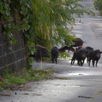 When animals attack: Wild boar and crows in Fukushima Prefecture compete with abandoned cats for scraps of food. | COURTESY OF RESCUING ANIMALS IN FUKUSHIMA