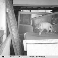 Fraidy cat: Video cameras have been set up to track the movements of abandoned felines in Fukushima Prefecture. | COURTESY OF RESCUING ANIMALS IN FUKUSHIMA