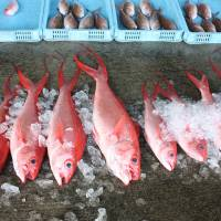 Sashimi in waiting: Red snapper, at the Wadomari fishing port. | HILLEL WRIGHT PHOTO