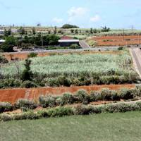 Sugar cane fields and plowed farmland revealing Okinoerabu Island's distinctive red earth. | HILLEL WRIGHT PHOTO