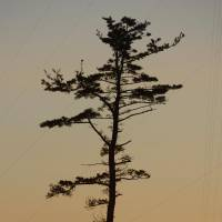 A pine tree that survived the tsunami stands out against the rising sun Tuesday in Minamisoma, Fukushima Prefecture.   KYODO