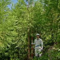 A forestry worker measures cedar trees. | KYODO