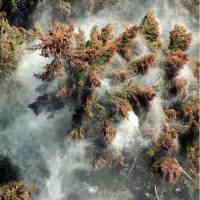 Clouds of pollen emanate from cedars in Sagamihara, Kanagawa Prefecture, in March 2005.   KYODO