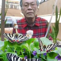 Hirokazu Sakamoto watches over some Gifu butterflies in Osaka on Monday. He has bred more than 20 of the species, which is considered at risk of becoming endangered. | KYODO