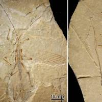 This fossil of the world's oldest-known stick insect, discovered in northeast China, dates from 126 million years ago.   REUTERS
