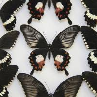 Mimetic female butterflies (center) of the Papillio polytes species, known as the common Mormon, are flanked by ordinary specimens in this handout photo. | REUTERS