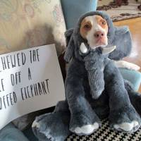Maymo, a lemon beagle, poses for a shame illustration in Merrimack Valley, Massachusetts, in this photo provided by Jeremy Lakaszcyck of Boston. He has been putting shaming videos of Maymo on YouTube since late 2011.   AP