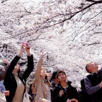 Shutterbugs capture the fleeting photo op under Ueno Park's cherry blossom trees in March 2008. | SATOKO KAWASAKI