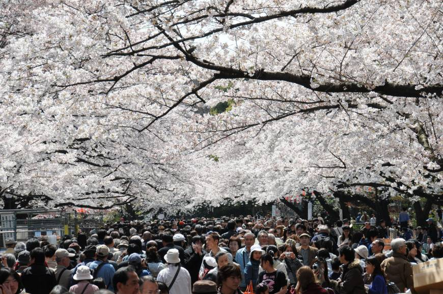 Did Japan's hallowed cherry trees actually originate in South Korea?