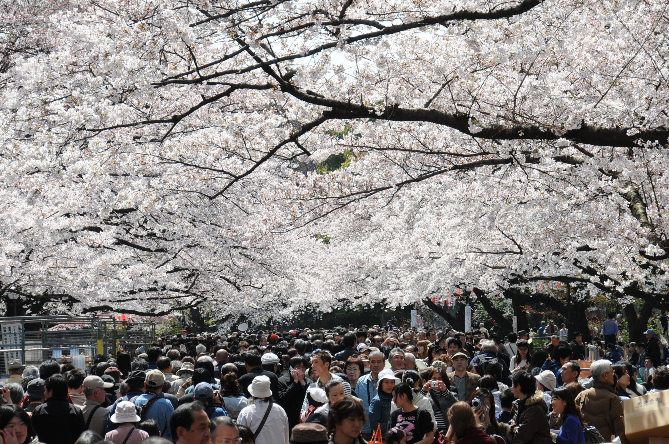 Did Japans Hallowed Cherry Trees Actually Originate In South Korea