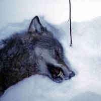 A female wolf lies dead in the the snow after a wolf hunt near Kristinehamn, Sweden. | AFP-JIJI