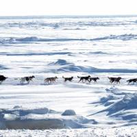 A racer taking part in the Iditarod sled race makes a final push for the finish line near the Bering Sea outside Nome, Alaska, last March. Researchers said Friday that insect and plant fossils found in the ancient Bering Land Bridge's sediment cores revealed that people likely called the area home for 5,000 years or more. | AP
