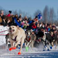 Dogs in Curt Perano's team leave the starting line of the Iditarod Trail Sled Dog Race on Sunday in Willow, Alaska. | AP