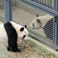 Female giant panda Shin Shin (left) and male Ri Ri are placed near each other to gauge their interest in mating at Ueno Zoo in Tokyo last Thursday. | UENO ZOO / KYODO