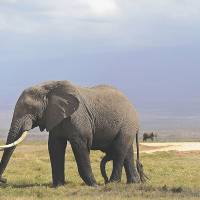 Main trunk line: An African elephant walks through Amboseli National Park in Kenya in October 2013. | AFP-JIJI