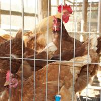 Putting eggs on the table: The colony's chickens are a key source of food and revenue.