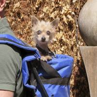 Old dog, new digs: Phyllis, a 10-year-old Chihuahua-poodle mix, who was found blind and hairless, now enjoys a trip to the Colorado-Nebraska border in the backpack of her new owner. | AP