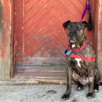 Still looking: Tanya is an 8-year-old pit bull mix that was dumped at a shelter in New York, where she stayed until earlier this year. Elli Frank, founder of Mr. Bones and Co., took her in to try and find her a permanent home. | AP