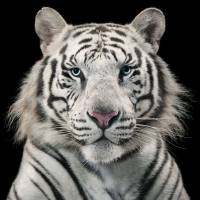 Image from Tim Flach's 'Tiger Breeding Series' | TIM FLACH