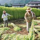 Workers harvest cannabis at a licensed farm in Tochigi Prefecture.
