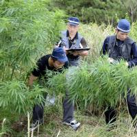 Police find cannabis plants in Nara Prefecture in September 2012. | KYODO