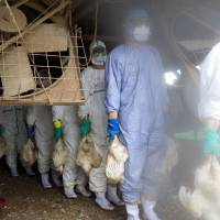 Government workers in protective suits carry slaughtered chickens from a poultry farm in Taragi, Kumamoto Prefecture, in this handout picture released by the prefectural government on Sunday. | KUMAMOTO PREFECTURAL GOVERNMENT/AFP-JIJI