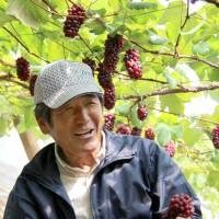 Grape grower Yoshihide Ogawa, from the city of Yamanashi, holds a cluster from this year's first Delaware grape crop, which survived record snowfalls for February. | KYODO