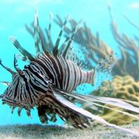 Invasive creature: A lionfish swims off Lee Stocking Island in the Bahamas. | AP