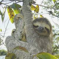 Just hanging around: A three-toed sloth sits in a tree near Gatun Lake in Panama. | WIKIPEDIA