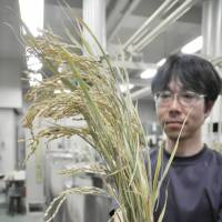 A participant gazes at a sample of the rice plant known as Yume-ginga, which is used to produce Hoshi-izumi, at the tasting. | CHUNICHI SHIMBUN