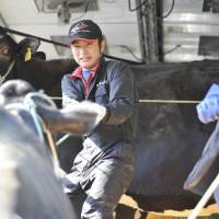 Hasegawa's then 32-year-old son, Yoshimune, herds cattle out of the shed for slaughter in May 2011 before the family's evacuation. | TAKASHI MORIZUMI