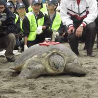 A Japanese green sea turtle, dubbed Lady Gaga, heads to the water in Taoyuan, northern Taiwan, on April 1. | KYODO