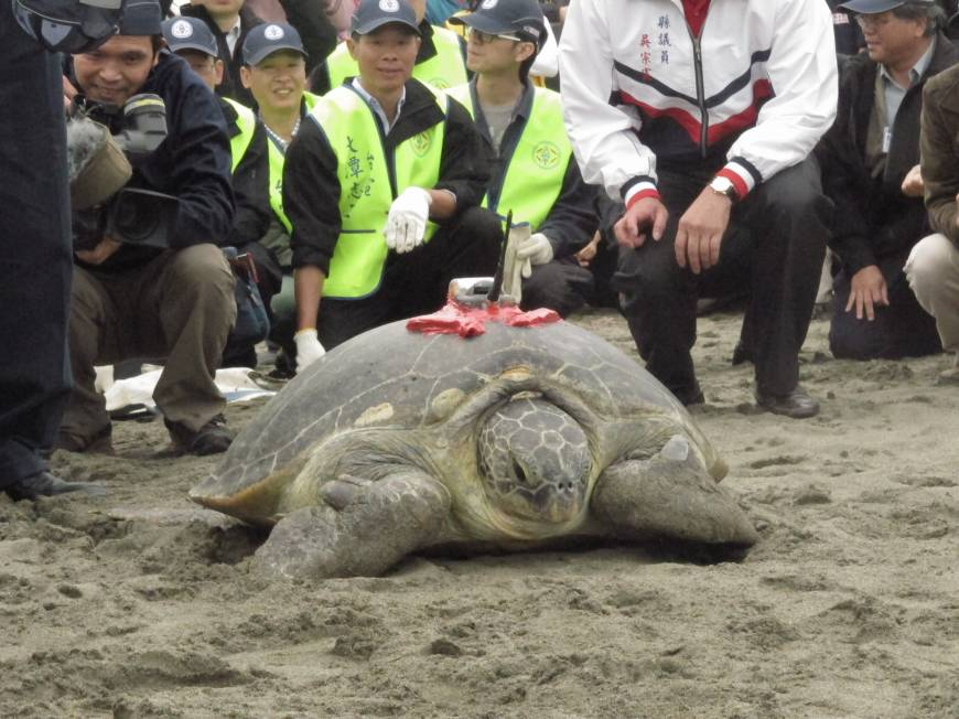 Japan turtle finds haven in Taiwan